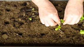 春天,是时间移植小蓬蒿幼木入一个更大的罐 股票录像