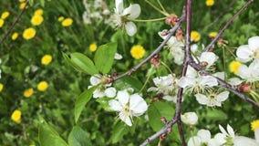 春天,果树开花 与年轻绿色叶子和嫩花的风摇摆的分支 股票视频