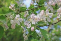 春天,树苹果计算机进展,白色,桃红色花阳光减速火箭的柔和的淡色彩 免版税库存照片