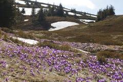 春天,花,五颜六色番红花开花 库存照片