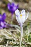 春天,花,五颜六色番红花开花 免版税图库摄影