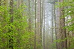 春天,雾的凯洛格森林 免版税库存图片