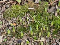 春天,黄水仙电灯泡的第一个标志在庭院里射击户外 免版税图库摄影