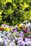 春天:一朵紫色和黄色报春花在一个小组的选择聚焦在bokeh的混杂的色的花中 库存图片