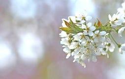 春天:分支与白色开花 免版税库存图片