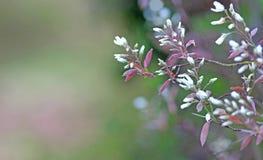 春天:分支与白色开花 库存图片