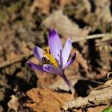 春天:蜂和番红花/番红花 免版税库存图片