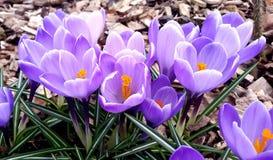 春天 一个组紫罗兰色番红花 免版税库存照片