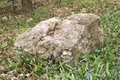 春天年轻人之前围拢的坚实老石头:Scillas和银莲花属 免版税图库摄影