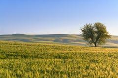春天 在普利亚和巴斯利卡塔之间:与麦田和偏僻的树的多小山风景 意大利 图库摄影