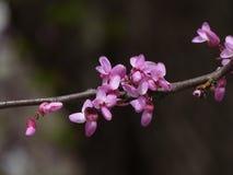 春天-在灌木的绽放 免版税库存图片