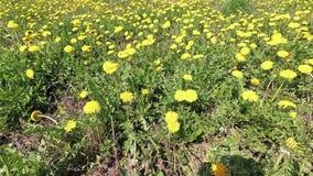 春天 在黄色蒲公英的美好的绿色领域 皇族释放例证
