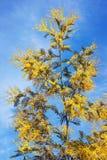 春天 开花的含羞草一个分支反对蓝天的 免版税库存图片