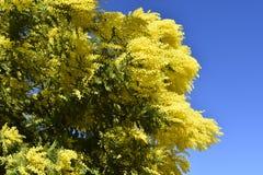 春天 弄脏 开花的树 含羞草 免版税库存图片
