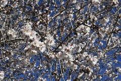 春天 弄脏 开花的树 库存图片