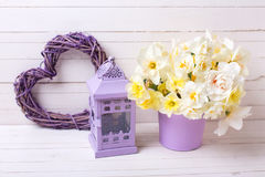 春天水仙或黄水仙在紫罗兰色罐,灯笼a开花 库存图片