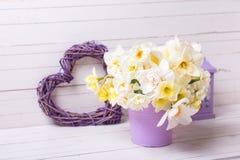 春天水仙或黄水仙在紫罗兰色罐,灯笼a开花 免版税库存图片
