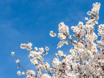 春天绽放反对蓝天的杏树 免版税库存图片