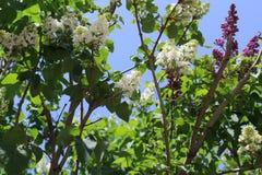 春天绽放和白色和淡紫色丁香 小蜡烛淡紫色灌木舒展往太阳 免版税库存照片
