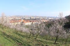 春天绽放在布拉格 库存照片