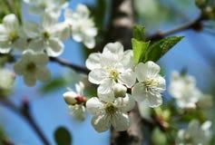 春天 樱花 库存照片
