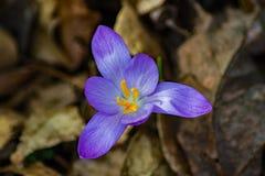 春天-特写镜头番红花第一朵花  免版税库存照片