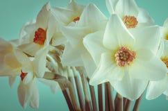 春天黄水仙特写镜头-被处理的十字架 图库摄影