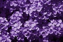 春天紫罗兰色淡紫色花关闭  库存照片