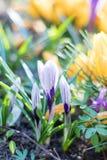 春天紫罗兰色白色和黄色花番红花 库存照片