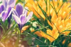 春天紫罗兰色白色和黄色花番红花 库存图片