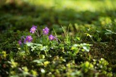 春天紫罗兰 免版税库存图片