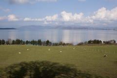 春天绵羊和羊羔 库存图片