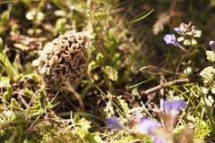 春天 羊肚菌 花在庭院里 库存照片
