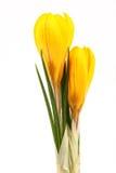 春天黄色开花开花在白色背景的番红花 免版税库存照片