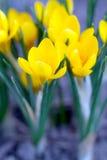 春天黄色番红花 库存图片