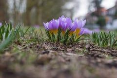 春天紫色番红花 库存照片