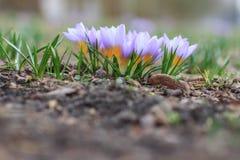 春天紫色番红花 库存图片