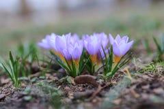 春天紫色番红花 免版税图库摄影