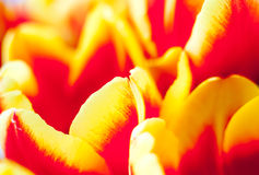 春天黄色红色郁金香 免版税库存图片