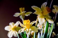 春天黄水仙黄色花 免版税图库摄影
