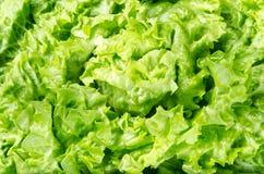 春天绿色莴苣叶子纹理和背景  免版税库存图片