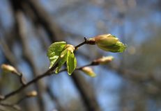 春天 菩提树的熔化的芽 库存照片