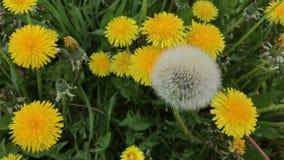 春天 风在草甸摇摆了开花的蒲公英 以一个蓬松球的形式,他们中的一个是 股票视频