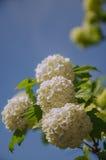 春天Guelder上升了,在雪球形状的荚莲属的植物opulus白花 免版税库存照片