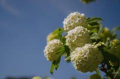 春天Guelder上升了,在雪球形状的荚莲属的植物opulus白花 图库摄影