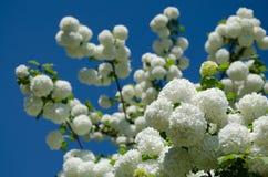 春天Guelder上升了,在雪球形状的荚莲属的植物opulus白花 库存图片