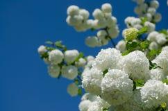 春天Guelder上升了,在雪球形状的荚莲属的植物opulus白花 库存照片