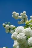 春天Guelder上升了,在雪球形状的荚莲属的植物opulus白花 免版税库存图片