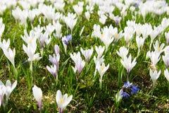 春天pasqueflower的领域 库存图片
