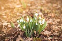 春天snowdrop在有copyspace的森林里开花 免版税库存照片